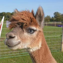 All Things Alpacas! Clubhouse