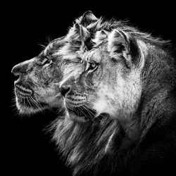Black and white lion Clubhouse