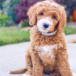 Designer Pups  Clubhouse
